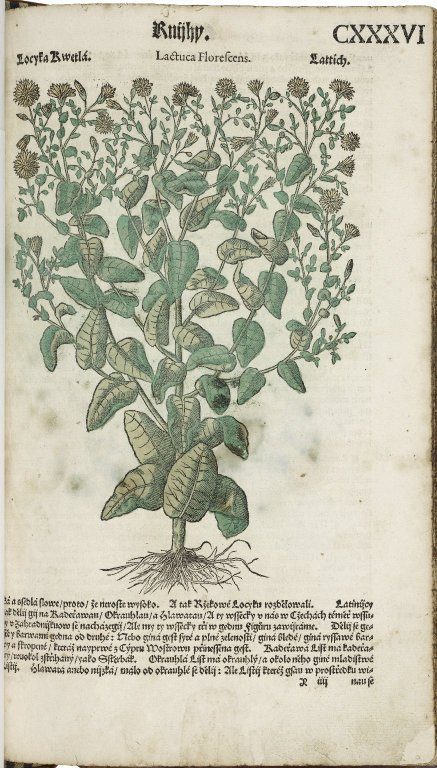 "a hand-colored print of ""Lactuca florescens"" made from a woodblock held in the Folger's collections"