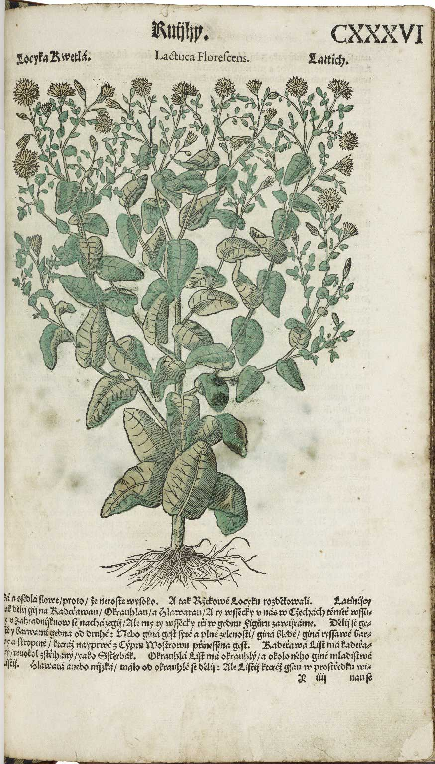 Woodcut from Pietro Andrea Mattioli's sixteenth-century herbal