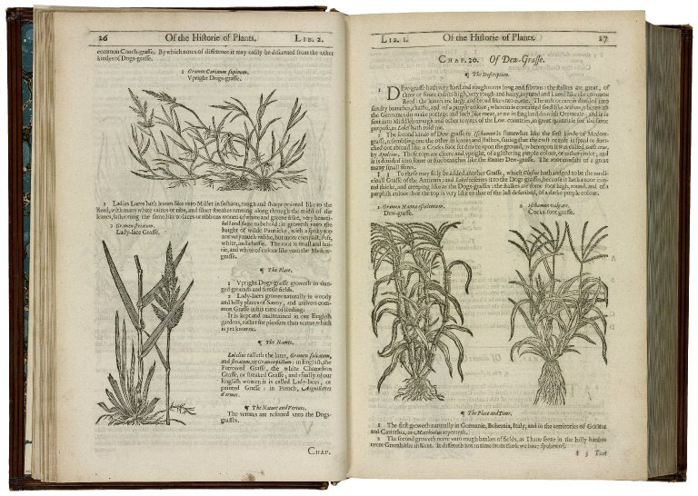 Depictions of and information about grasses from Gerard's Herball