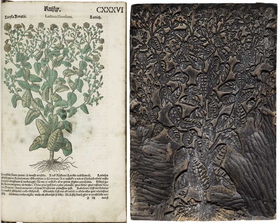 Woodcut in a Czech herbal (a guide to plants) from 1562 and the woodblock that produced it. Folger Shakespeare Library.